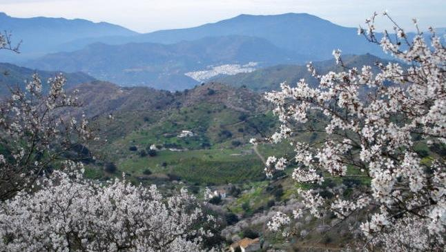 Almond trees flowering in Guadalhorce valley