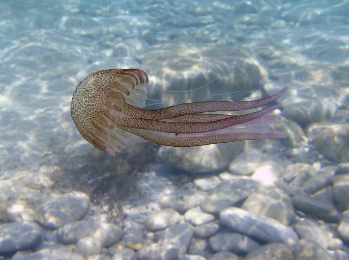 Medusas bellas de ver abstenerse de tocar - Como se alimentan las medusas ...